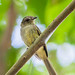 Guaracava de penacho amarelo - Myiopagis flavivertex - Yellow-crowned Elaenia