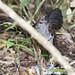 Panama: Rufous-vented Ground-Cuckoo 2