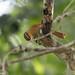 Ochre-breasted Foliage-gleaner (Anabacerthia lichtensteini), Iguazu Falls, BR, 2014-04-13--110