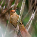 Barranqueiro-de-coroa-castanha - Automolus rufipileatus - Chestnut-crowned Foliage-gleaner