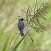 Golinho (Sporophila albogularis)