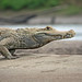 51.  White Caiman (Caiman crocodylus), On Route To Refugio Amazonas, Tambopata National Reserve, Madre De Dios, Peru