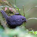 Mouse-coloured Tapaculo, Bamboo Trail, Brazil