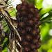Brejaúva (Astrocaryum aculeatissimum)