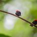Red-headed Manakin (Pipra rubrocapilla)