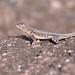 Peters' Lava Lizard | Guaripete Común (Tropidurus hispidus)