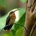 Rufous-breasted Hermit----- Glaucis hirsutus