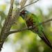 Venezuelan Parakeet | Perico Pintado ( Pyrrhura picta emma)