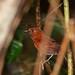 Ruddy Spinetail (Synallaxis rutilans)