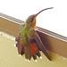 Ermitaño Canelo, Rufous-breasted Hermit (Glaucis hirsutus)