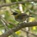 Pinzón pectoral / Pectoral Sparrow