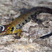 Gonatodes humeralis (Bridled Forest Gecko)