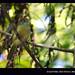 Verdinho-coroado (Rufous-crowned Greenlet)