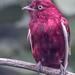 Pompadour Cotinga (Xipholena punicea) - Bus Depot Aviary - San Diego Zoo