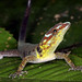 Bridled Forest Gecko (Gonatodes humeralis)