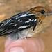 Guianan Streaked Antwren (female)