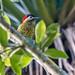 pica-pau-verde-barrado (Colaptes melanochlorus) - fêmea