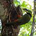 Tucaninho-da-serra (Selenidera gouldii)