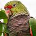 Papagaio-do-peito-roxo