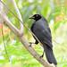 Iraúna-grande // Giant Cowbird