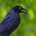 Iraúna-grande  / Giant Cowbird