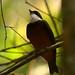 Flame-crowned Manakin (Heterocercus linteatus)