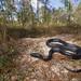 Eastern Indigo Snake (Drymarchon couperi)