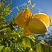 Fleur de Bananier du Japon (Musa basjoo) dans un jardin.