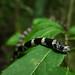 Dormideira (Sibynomorphus mikanii)