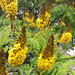 "sibipiruna ""Caesalpinia pluviosa var. peltophoroides"""