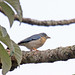 Hooded Tanager (Nemosia pileata)