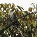 Accipiter poliogaster