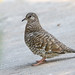 Fogo-apagou / Scaled Dove