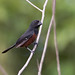 Chestnut-bellied Seed Finch (Sporophila angolensis) - male
