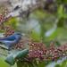 figuinha-de-rabo-castanho (Conirostrum speciosum) - Chestnut-vented Conebill
