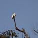 White Bellbird (Procnias alba)