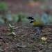 Pectoral Sparrow (Arremon taciturnus), Guaramiranga, Ceara, BR, 20160110-105.jpg