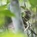 Olivaceous Flatbill (Rhynchocyclus olivaceus), Serra Bonita, Bahia, BR, 20160127-103.jpg