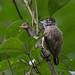 Ochraceous Piculet (Picumnus limae), Guaramiranga, Ceara, BR, 20160111-105.jpg