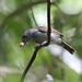 Guianan Slaty-Antshrike (Thamnophilus punctatus)