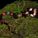Oxyrhopus petola