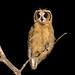 Striped Owl (Asio clamator) - juvenile