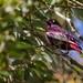 Cotinga pompadour - Xipholena punicea