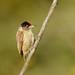 Picumnus limae / Picapauzinho-da-caatinga / Ochraceus Piculet