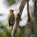 Pic à gorge jaune - Piculus flavigula