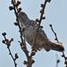 _W4A4139 White-barred Piculet (Picumnus cirratus)
