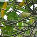 Herpsilochmus rufimarginatus ♀