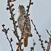 _W4A4137 White-barred Piculet (Picumnus cirratus)