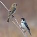 White-throated Seedeater (Sporophila albogularis) - couple