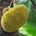 Vallée de Mai - Jackfruchtbaum